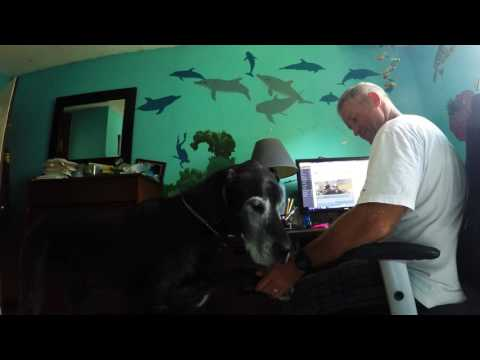 Briva The Great Dane Wants Attention