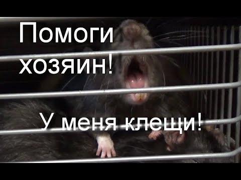 Вопрос: Как избавиться от тропических крысиных клещей у домашней крысы?