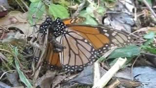 Footage Спаривание бабочек(Футажи, футажі скачати, скачать футажи, бесплатные футажи, футажи бесплатно, бесплатные футажи скачать..., 2012-02-11T18:44:58.000Z)