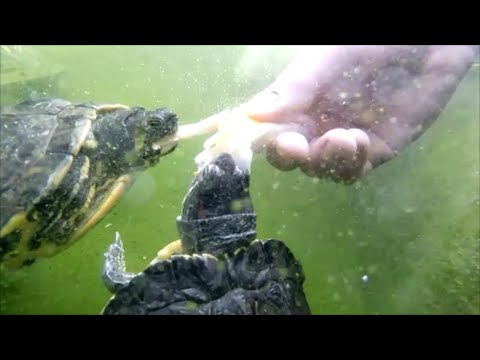 Tortues de floride en bassin alimentation youtube for Bassin exterieur pour tortue