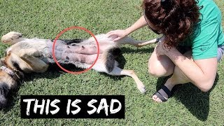 try-not-to-cry-our-german-shepherd-guard-dog-had-surgery-and-this-is-what-happened