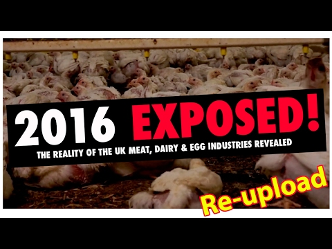 2016 Exposed   The Reality Of The UK Meat, Dairy & Egg Industries Revealed - RE-UPLOAD