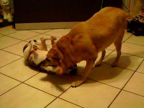 Pit Bull VS German Shepherd Pt 1 - YouTube