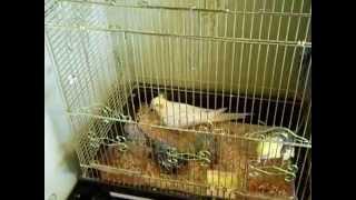 Попугаи нимфы - кореллы Кузя и Фиби (разведение) 15 Птенец кореллы Breeding Corell.