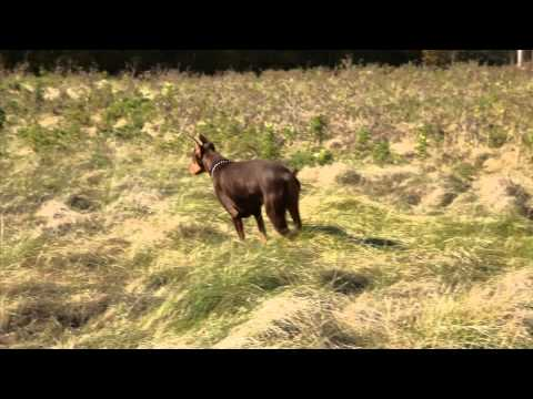 Playful Doberman Bouncing, Hunting In Field.