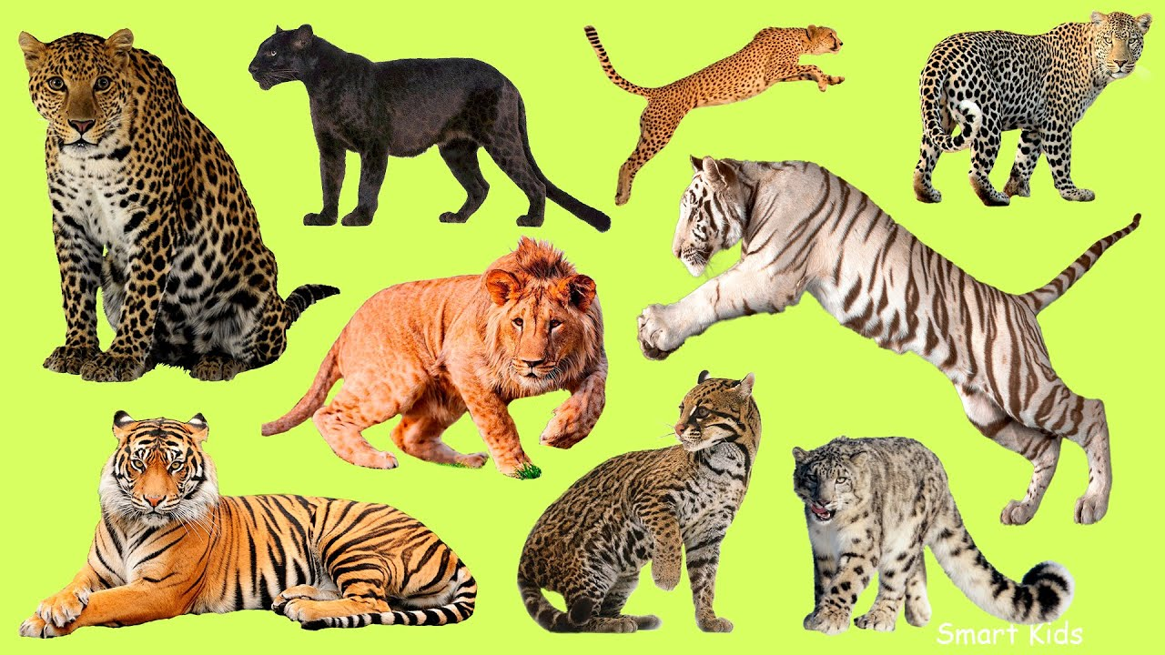 Learn names Greatest Big Cats  in English    Learn Sounds of Greatest Big Cats for Kids