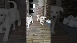 Продам щенков Лабрадора НЕДОРОГО