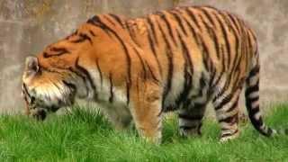 Tygrysy Syberyjskie - Sibirischer Tiger - Siberian Tiger