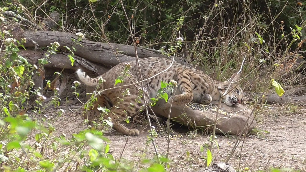 Male Bobcat scent marking a rock? Brownsville Texas.