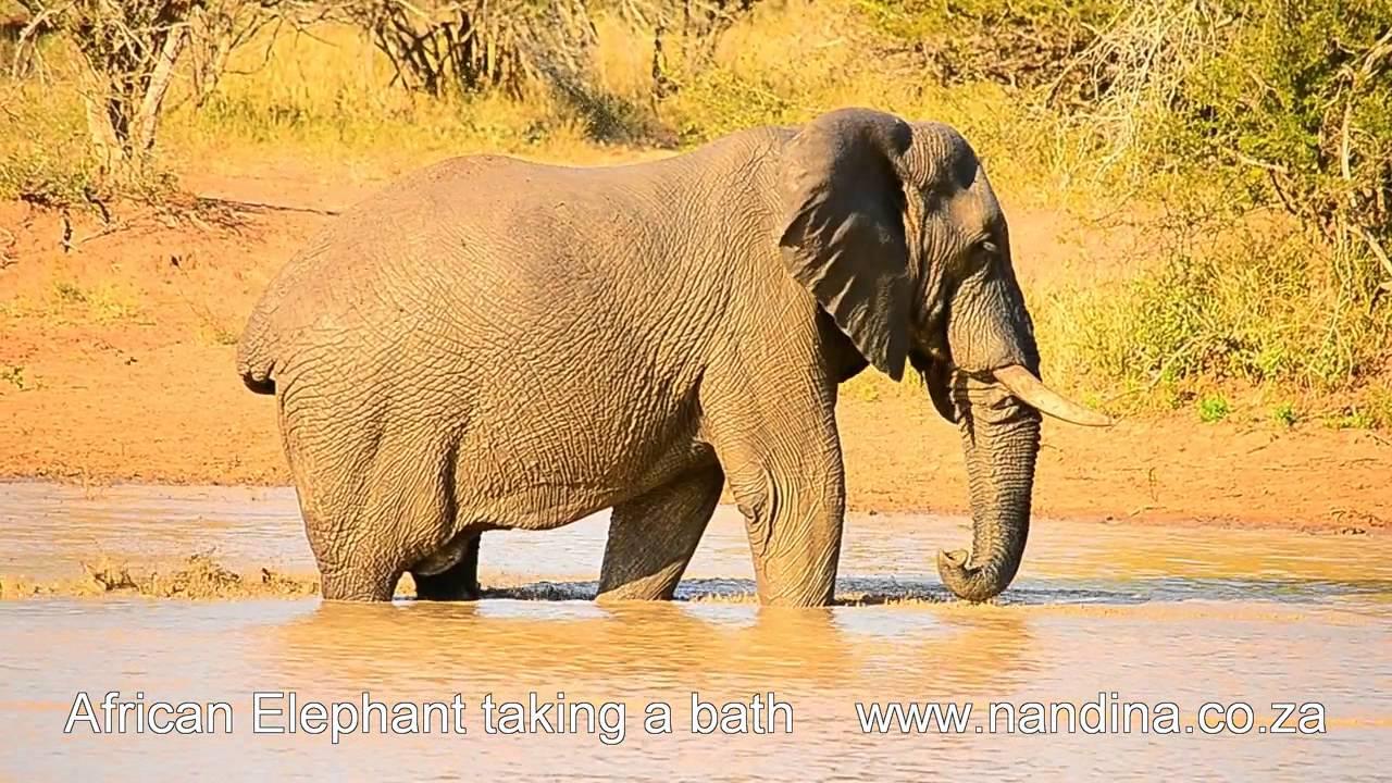 African Elephant Taking A Bath Youtube