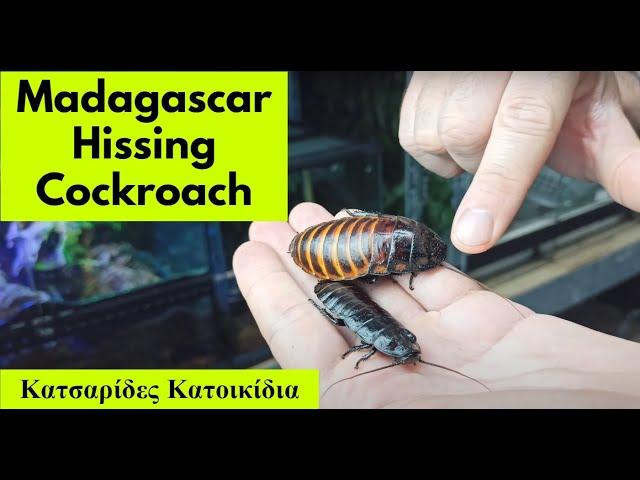 Κατσαρίδες Μαδαγασκάρης Basics & Set Up * Vegan Pet * | Feeders Strs 80