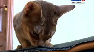 Кошек какой породы предпочитают заводить костромичи