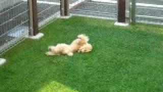 芝刈りしたばかりの芝の上で、踊るように体をこすりつけて遊んでます! ...