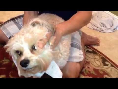 How to Clean Your Dogs Ears and Prevent Infection, FAST!