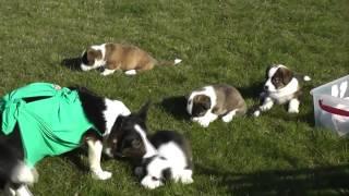 щенки корги кардиган в питомнике Корги на Волге.