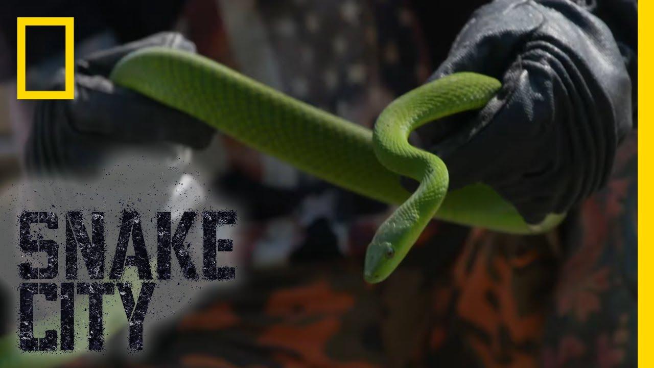 Green Mamba Under a Car | Snake City