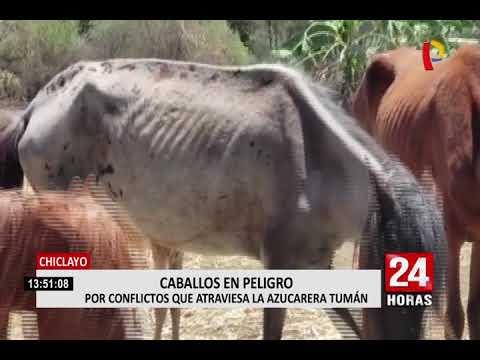 Chiclayo: cien caballos de paso se encuentran en malas condiciones en azucarera Tumán
