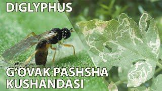 Diglyphus - parazit ari bo'lib, g'ovak pashshasiga qarshi samarali biologik kurash vositasidir
