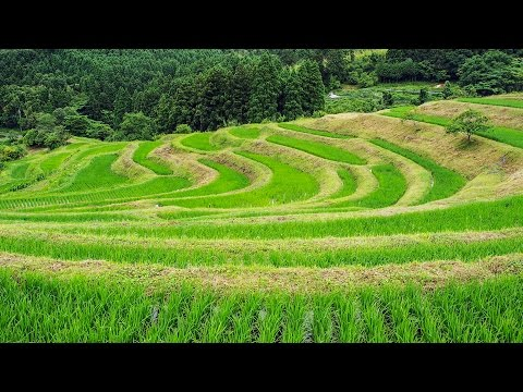 [ 4K Ultra HD ] 初夏の大山千枚田 Oyama Senmaida Terraced Rice Fields (Shot on RED EPIC)