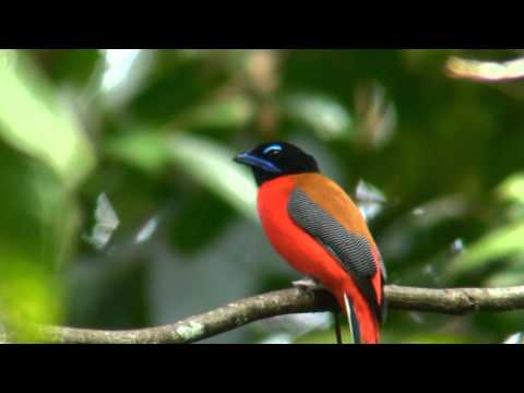 Scarlet-rumped Trogon.wmv