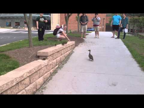 Brave Ducklings Learn To Fly Off Short Ledge (VIDEO)