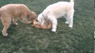 Goldendoodles Teach Goldendoodle Puppy Boundaries!