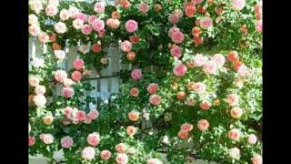 Плетисиые розы - украшение сада. Very beautiful music.
