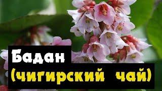 видео Растение бадан: лечебные свойства и противопоказания к применению