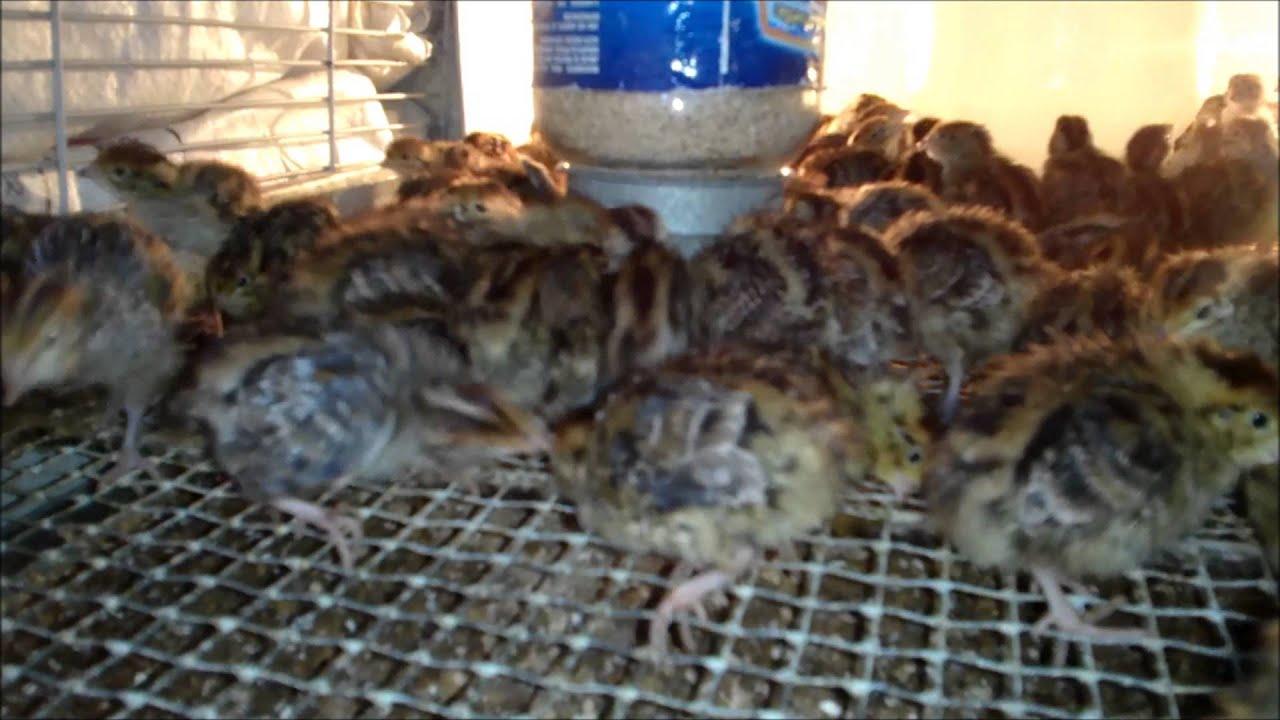 Granja de codornices aboyte en tijuana baja california for Como hacer una granja de peces