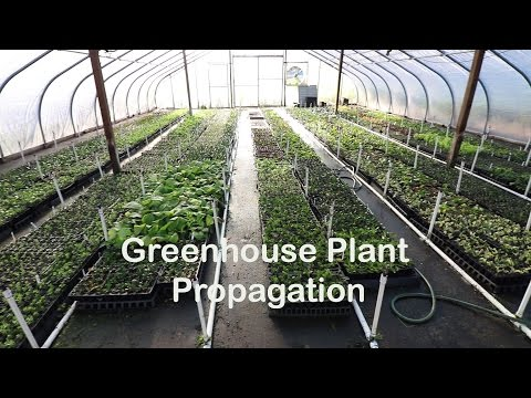 Plant Propagation of Rooted Cuttings in a Greenhouse