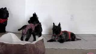 Cairn Terrier Puppy Mill Rescues Tango And Mambo