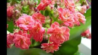 Каланхоэ уход.Домашняя каланхоэ уход(каланхоэ уход в домашних условиях.цветок каланхоэ уход., 2016-04-26T11:40:01.000Z)