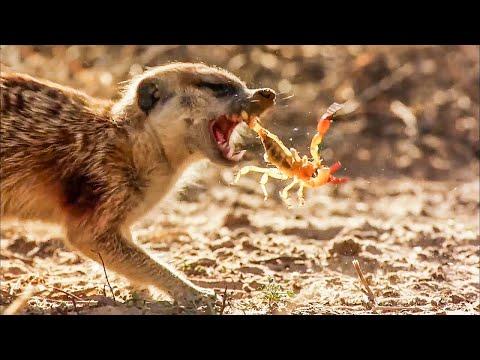 BBC Earth 50 Top Natural History Moments | 50-41