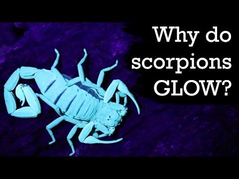 Why Do Scorpions Glow Under Blacklight?