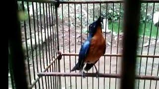 Kicau Gacor Tledekan Gunung Langa longo gacor Birds singing