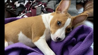 Putting Ragnar the Basenji to Sleep | BASENJI PUPPY | 10 Weeks Old | Basenji Yawn
