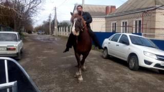 Цыганский лошади 2016