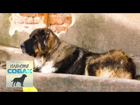 Болгарская овчарка. Планета собак 🌏 Моя Планета