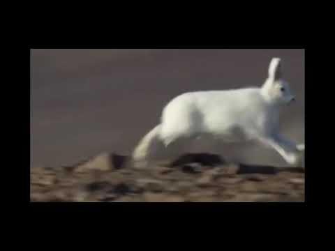 Два Волка против Зайца не догоняет зайца