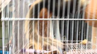 Тайские домашние белки