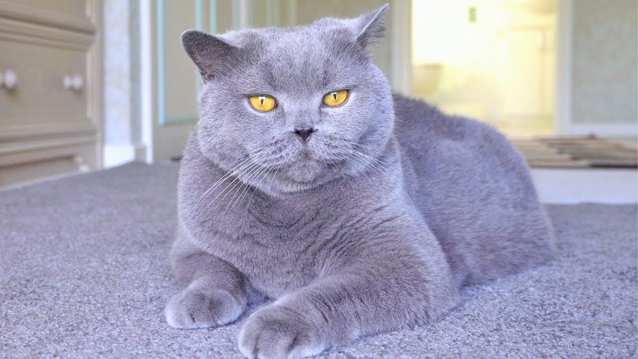 Blue British Shorthair Cats Got Presents
