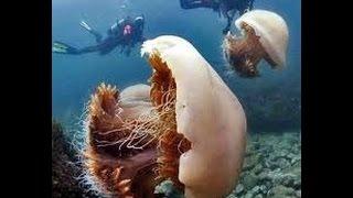 видео Гигантская арктическая медуза (лат. Ceanea arctica, Cyanea capillata)