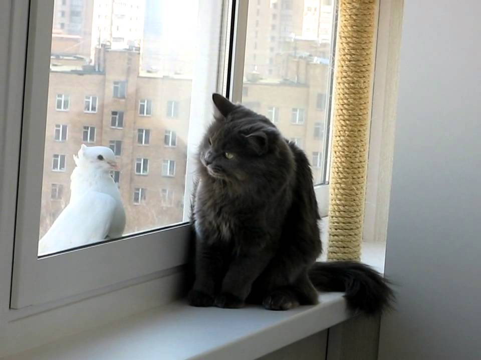 Image result for cat looking out window at pigeon