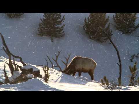 Yellowstone bull elk in February part 2