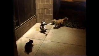 Fox vs. Cat