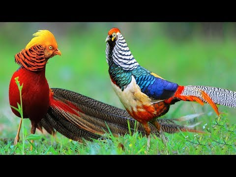 Beautiful Golden Pheasants and Wading Birds