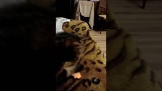 когда твоя кошка ненавидит лис
