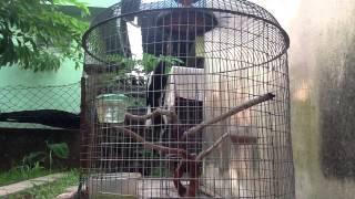 Murai Cacing (Ori Penang)
