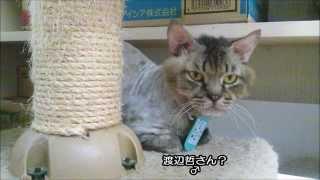 キャットタワーのおもちゃで遊んでいる 俳優の渡辺哲さん似の 鎌倉猫さ...
