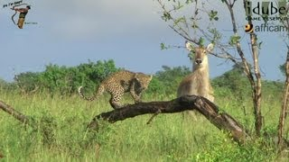 Leopard And Cub - Life Outside The Bushcamp - 14: Stalking Waterbuck #youtubeZA
